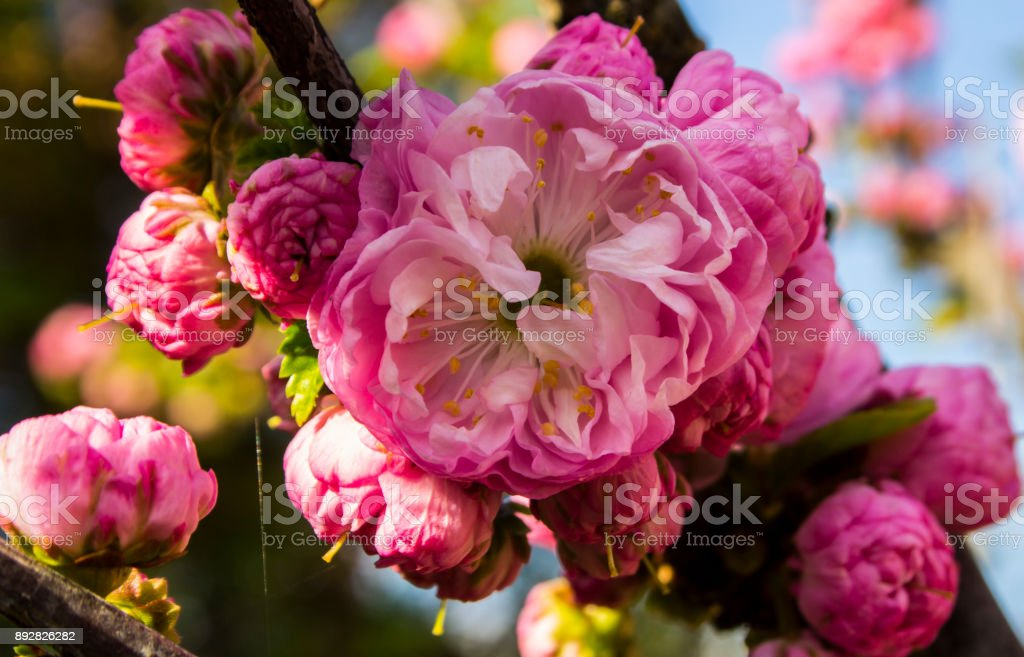 Pink spring blossom background. Sakura. Cherry blossoms japan. stock photo