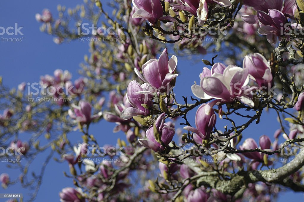 Pink spring blossom royalty-free stock photo
