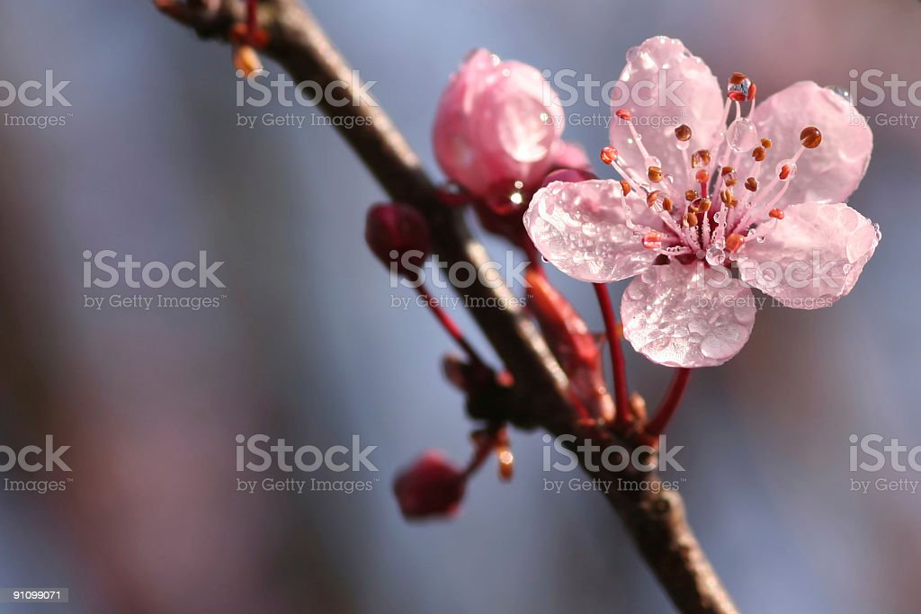 Pink spring blossom with morning-dew-droplets royalty-free stock photo