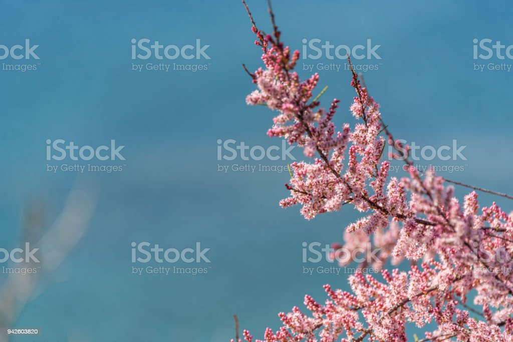 Pink Spring Blossoms Against the Blue Mediterranean stock photo