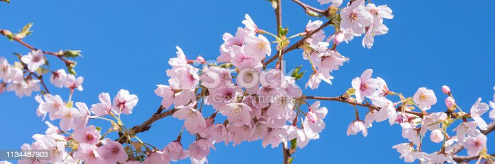 istock Pink spring cherry blossom, blue sky panoramic background 1134487903