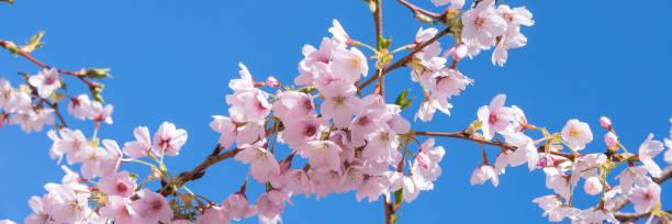 fleur de cerisier de printemps rose, fond panoramique ciel bleu - paysage mois de mars photos et images de collection