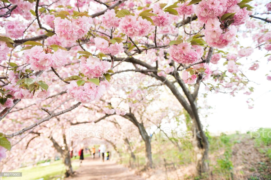 Pink Spring Cherry Blossom Flowers in Bloom Central Park Lizenzfreies stock-foto