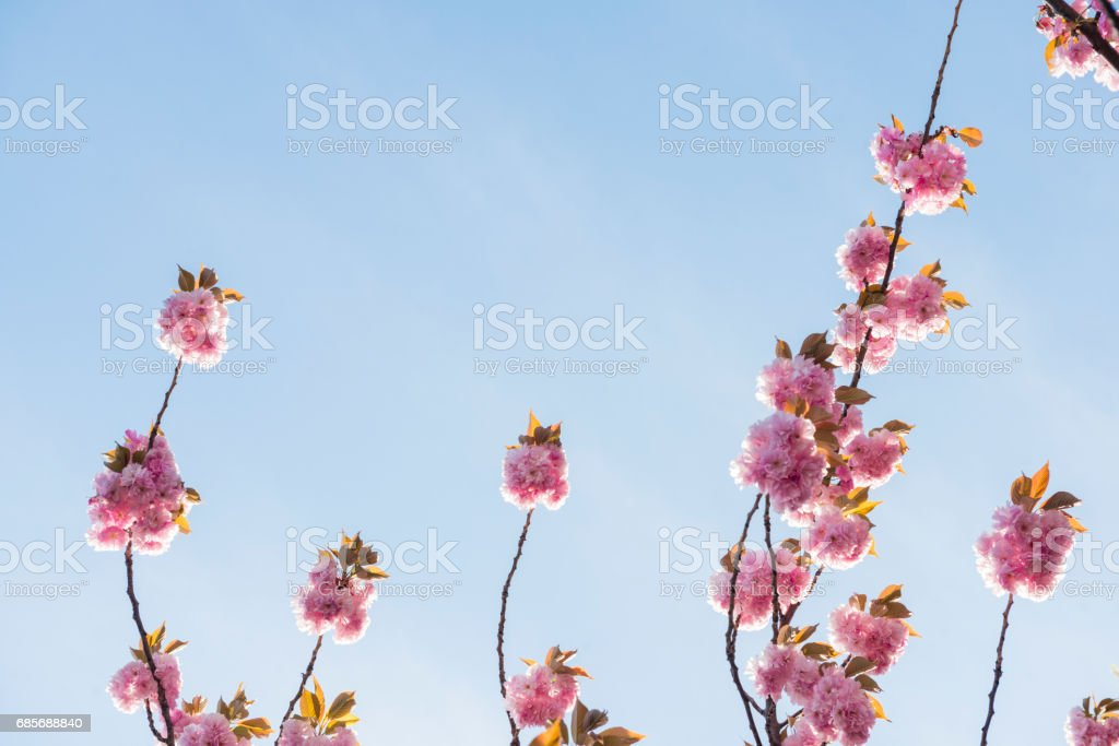 Pink Spring Cherry Blossom Flowers in Bloom 免版稅 stock photo