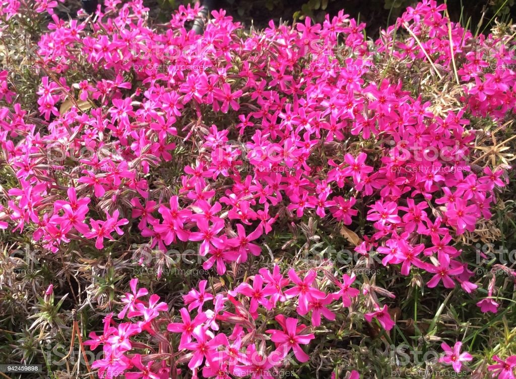 Pink Spring Flowers and Foilage stock photo