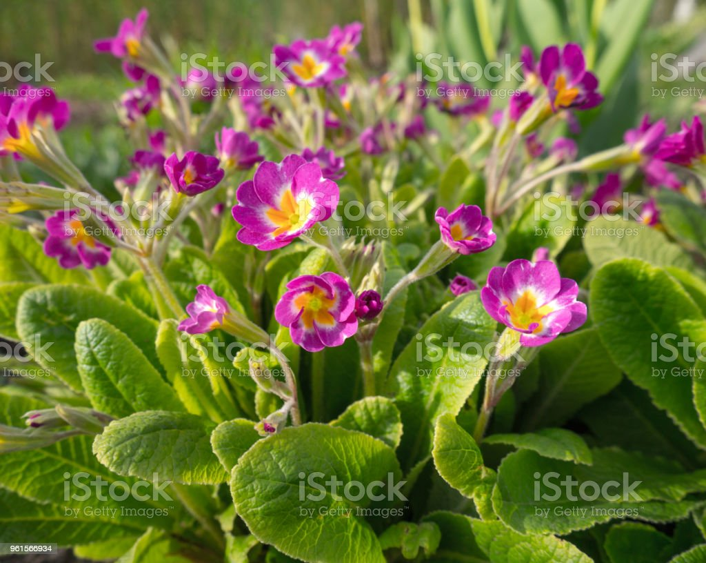 Pink spring flowers in the garden. Blooming Primula or Primrose...