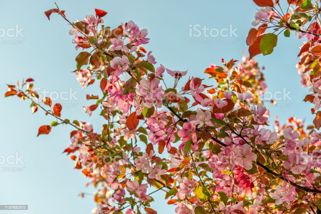 Pink spring flowers on apple tree stock photo