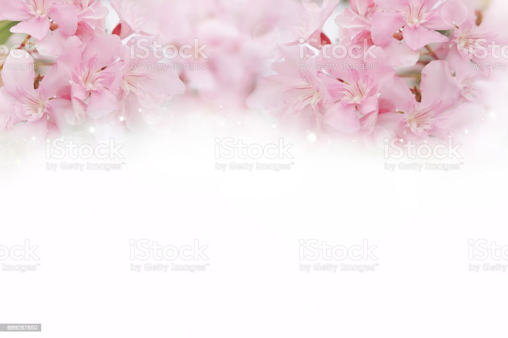 pink spring flowers on white background stock photo