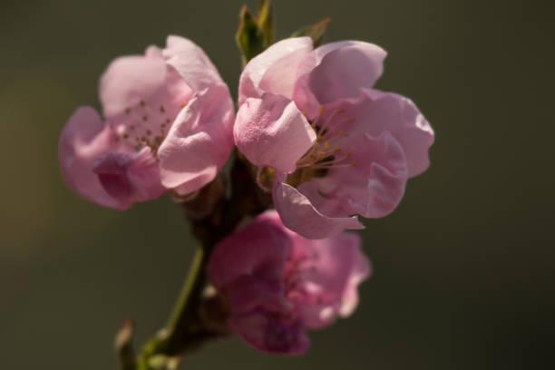 różowe wiosenne kwiaty – zdjęcie