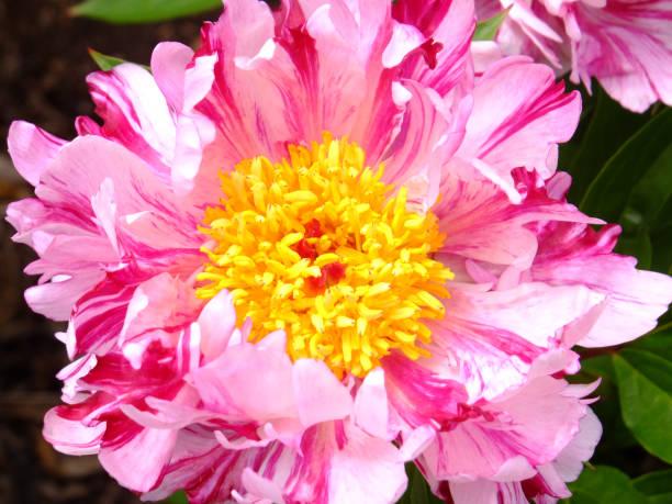 Pink Spritzer stock photo