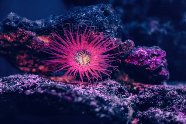 Pink starfish in aquarium Russia, Animal, Animal Fin, Animal Themes, Animal Wildlife starfish stock pictures, royalty-free photos & images