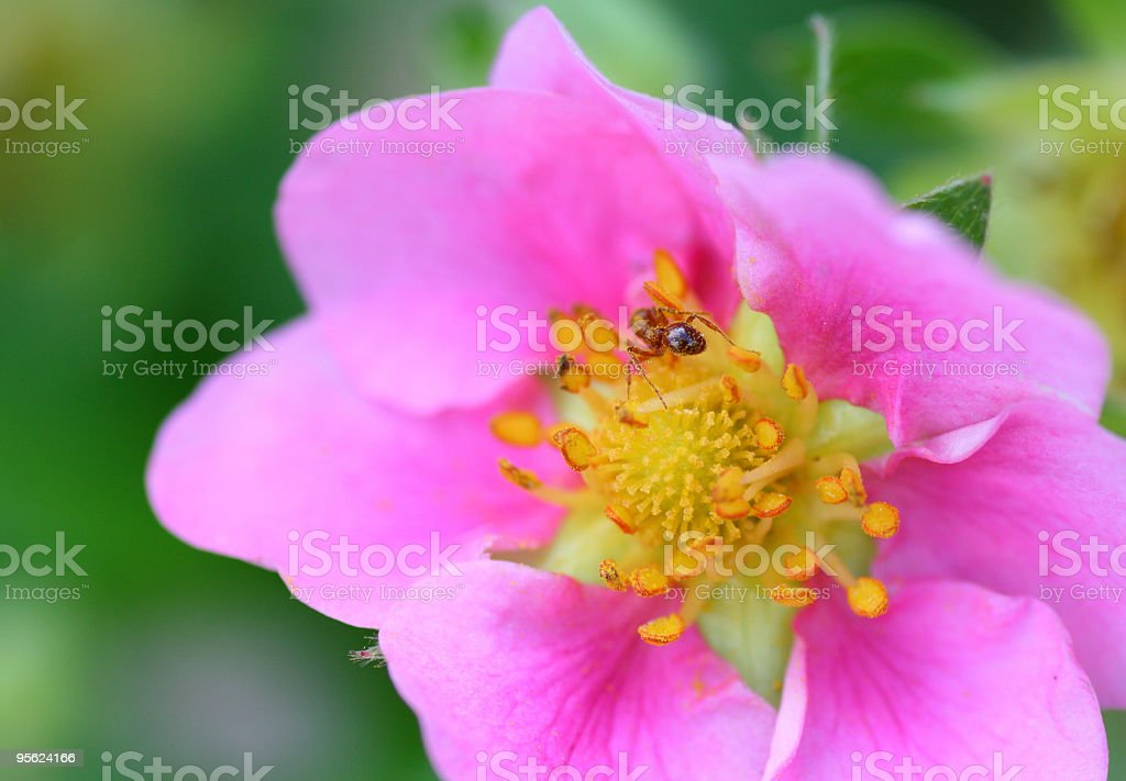 Pink Strawberryflower with little worker royalty-free stock photo