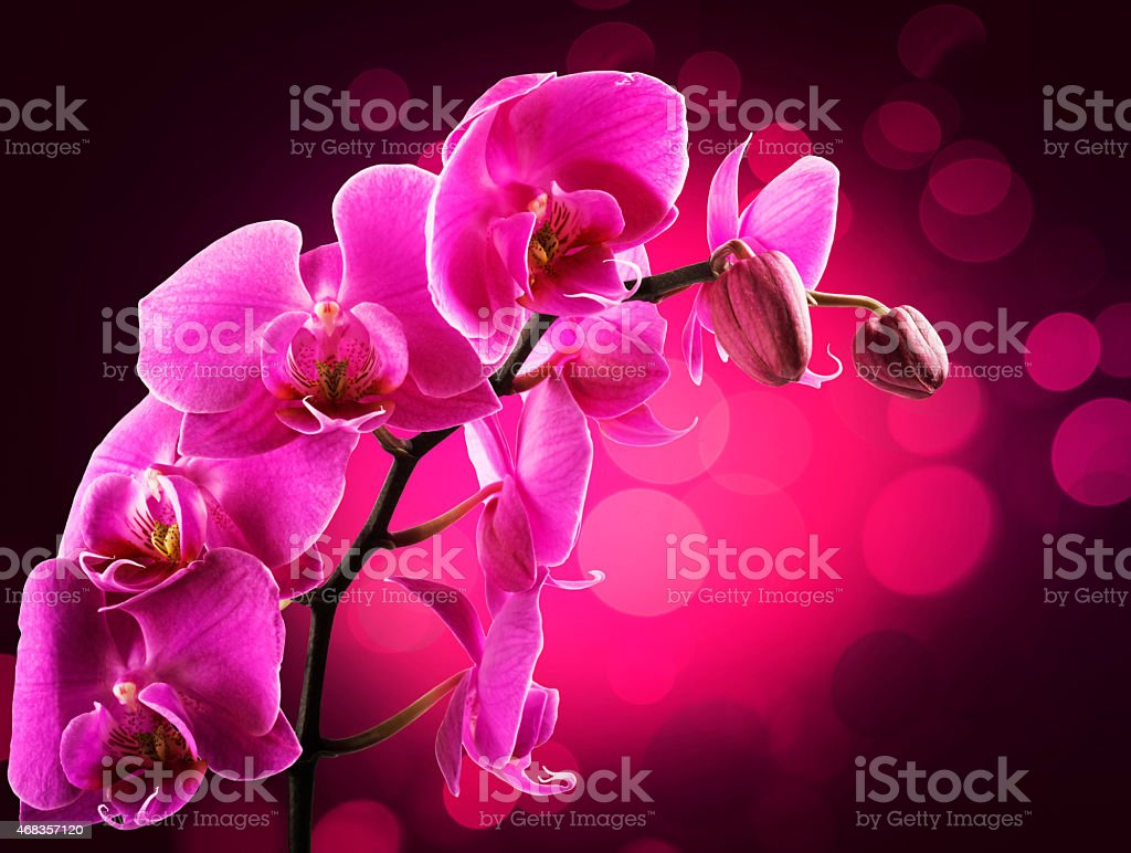 Pink streaked orchid flower, isolated royalty-free stock photo