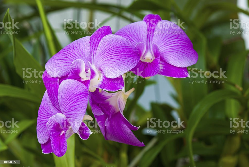 Pink streaked orchid flower royalty-free stock photo