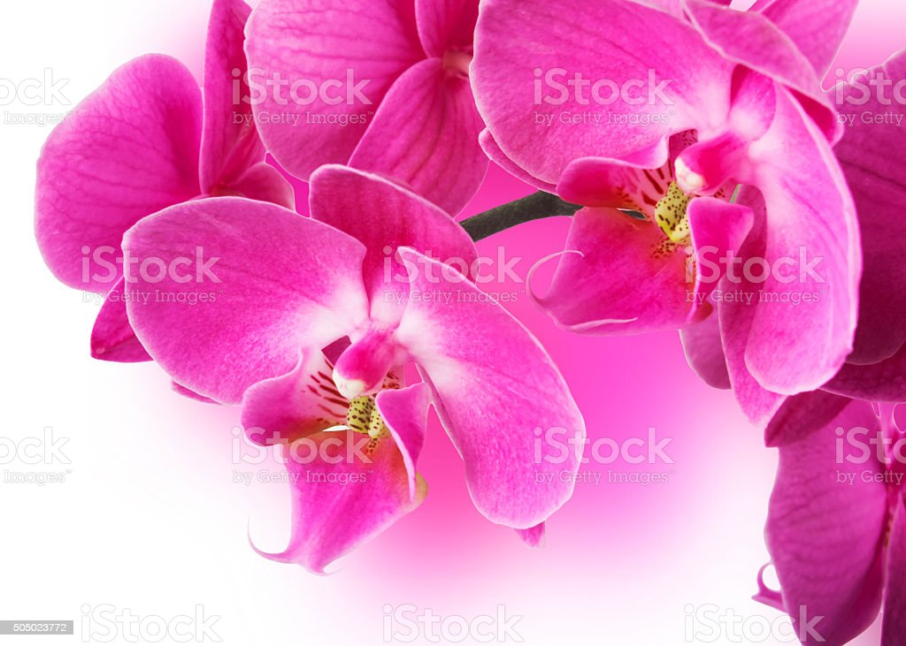Pink streaked orchid flower. stock photo