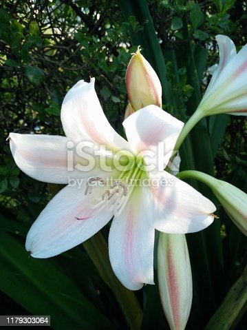White crinum lilies with pink stripes trumpet lilies milk and wine lilies