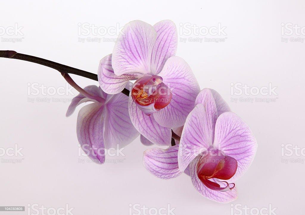Pink stripy phalaenopsis orchid royalty-free stock photo