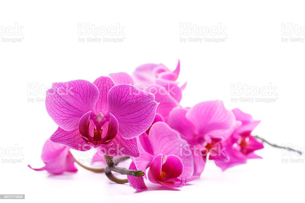pink stripy phalaenopsis orchid stock photo