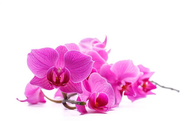 pink stripy phalaenopsis orchid圖像檔