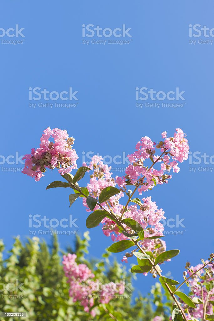 Pink Summer Flowers and Green Leaf Bokeh on Blue Sky royalty-free stock photo