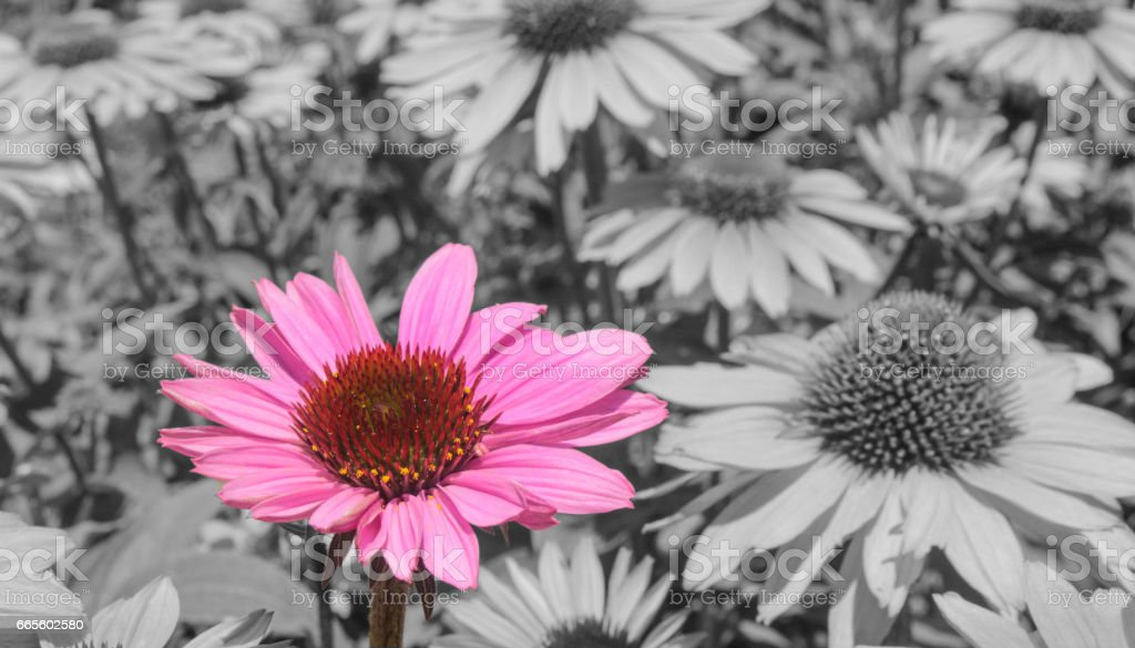 Pink Sunflower Black and White and Color stock photo
