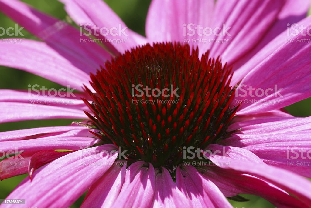 Pink sunhat flower royalty-free stock photo