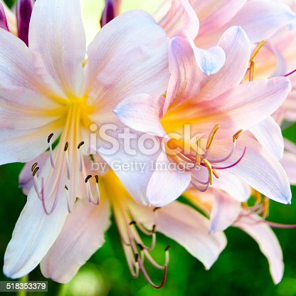 Pink Surprise Lilies blooming brightly in the sunlight with green leaves in the background.
