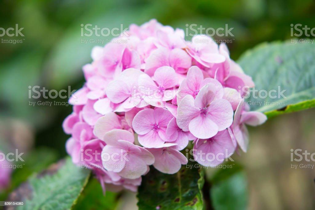Pink sweet hydrangea flower in the garden stock photo