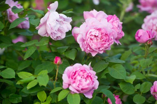 Pink tea hybrid rose in the garden gardening picture id1135111274?b=1&k=6&m=1135111274&s=612x612&w=0&h=vxriwa0qrubkgv uumsp7ho4avnm7lu8ixlshmrccrw=