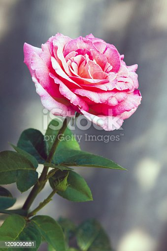 A pink tea rose blooming in the garden at noon. Blossoming of hybrid rose flower buds on ground in Valentine's Day.