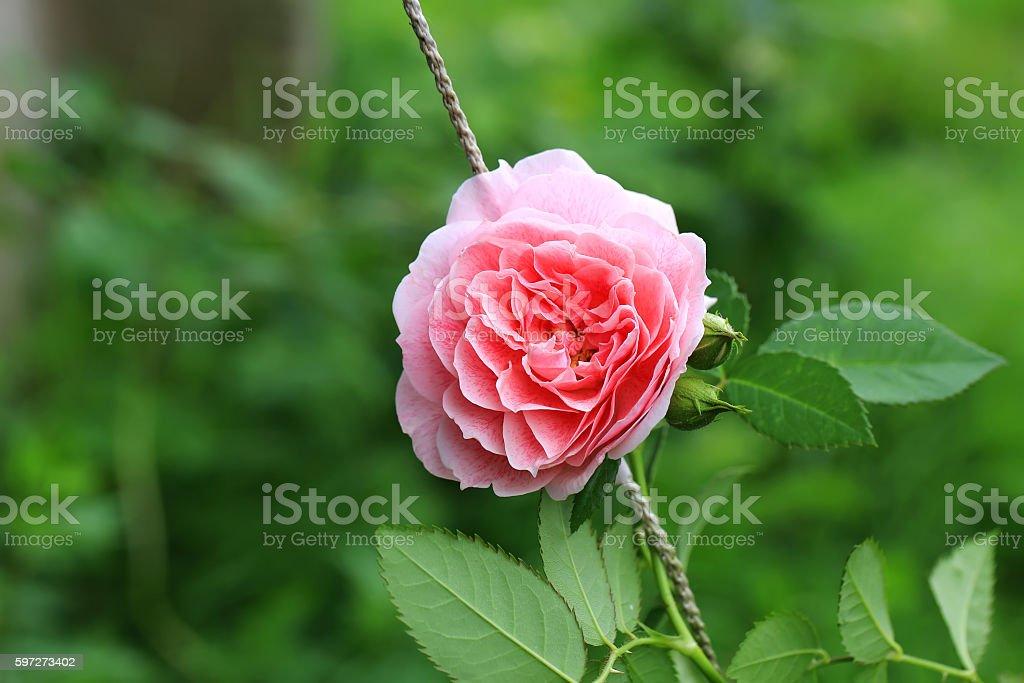 pink tea rose in the garden Lizenzfreies stock-foto