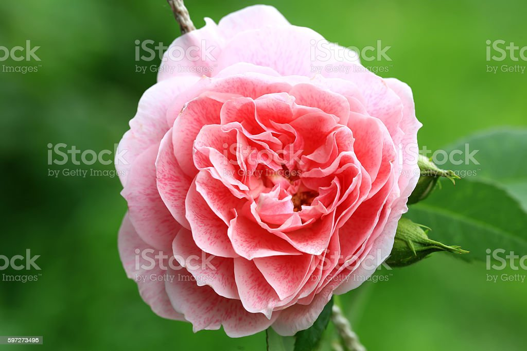 pink tea rose in the garden photo libre de droits