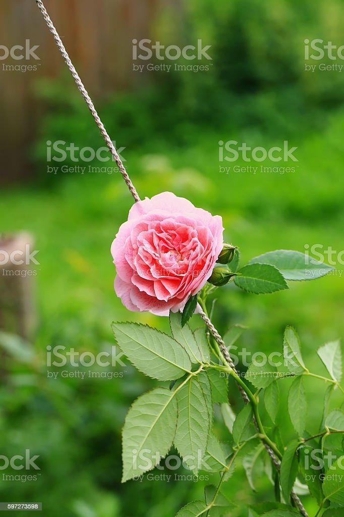 pink tea rose in the garden photo libre de droits