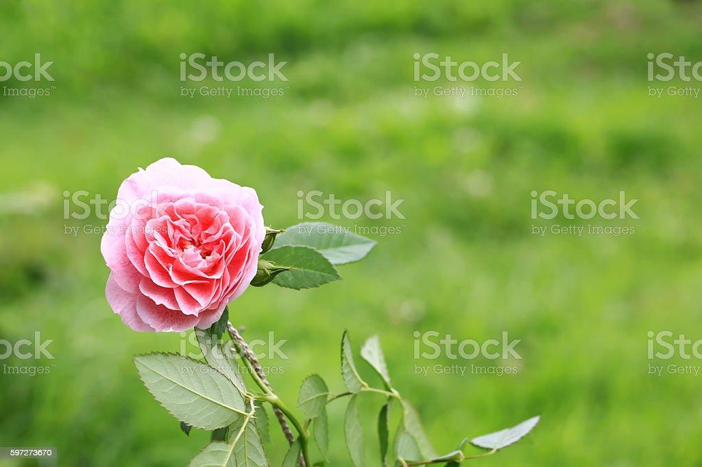 pink tea rose in the garden royalty-free stock photo