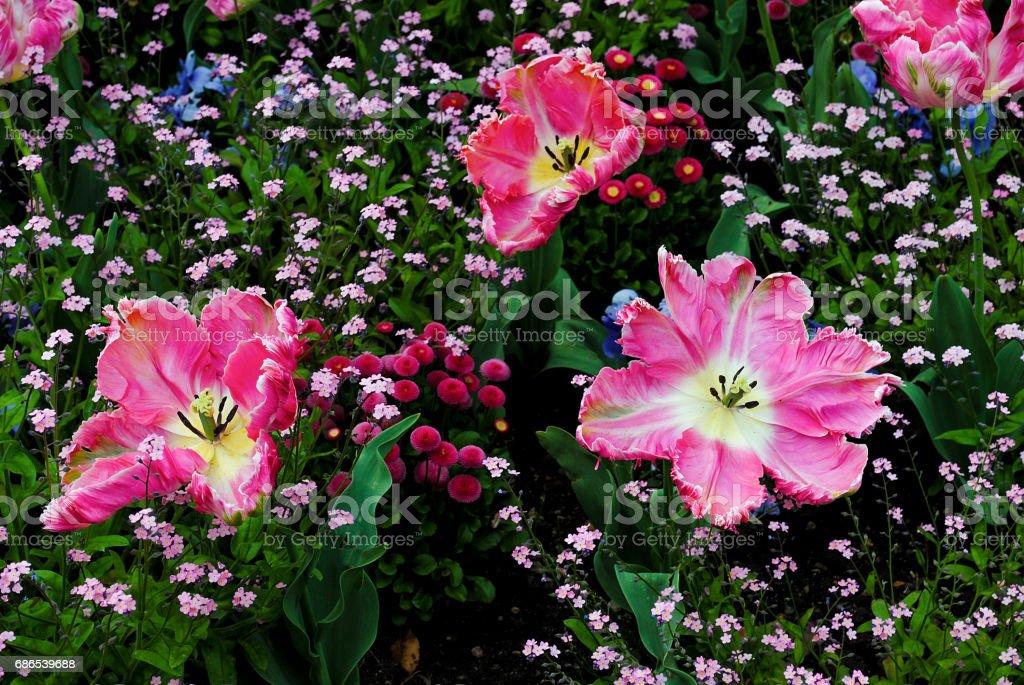 Tulipán rosa terry en el jardín en fondo verde foto de stock libre de derechos