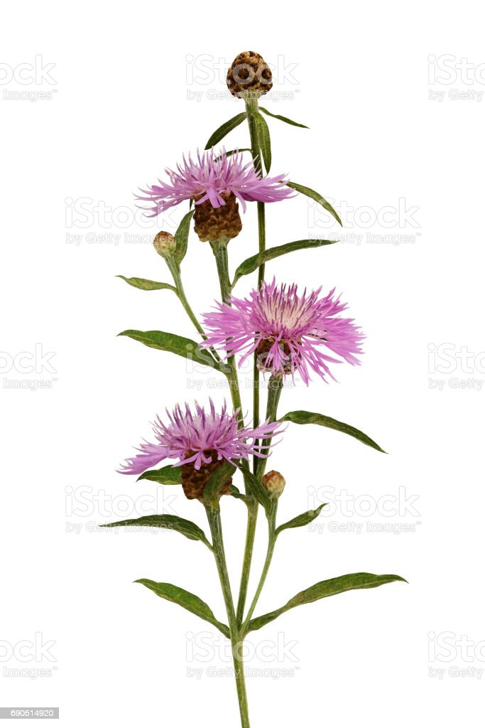 Pink thistle flowers and buds bouquet stock photo