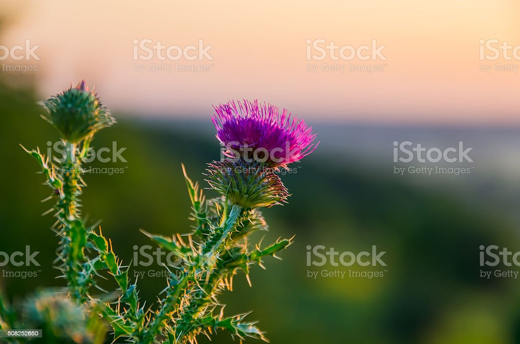 Pink thistle flowers stock photo