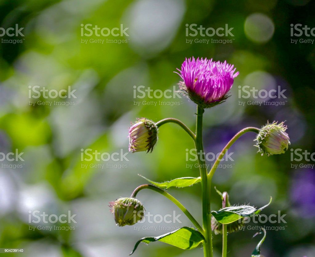 Pink Thistles in Sunlight stock photo