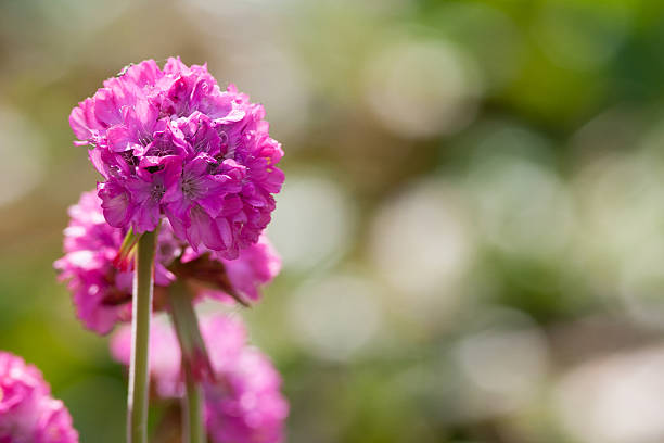 Pink Thrift Flowers on Clifftop (Armeria maritima)