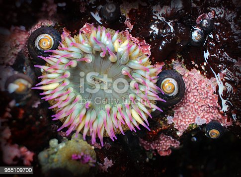 An open sea anemone in a tide pool on the coast of California