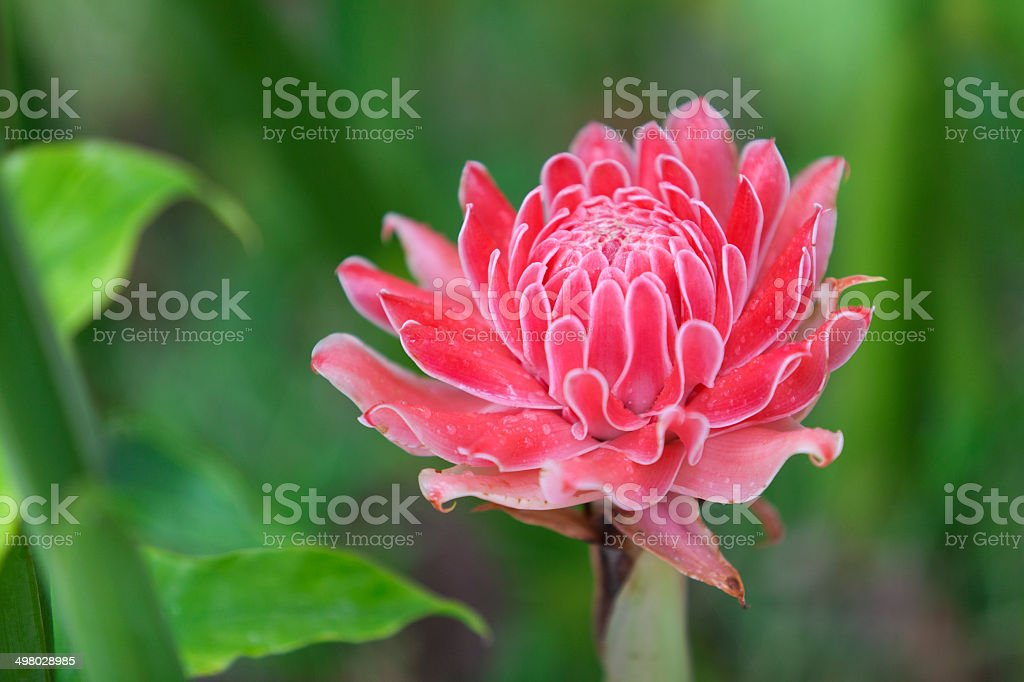 Pink Torch Ginger stock photo