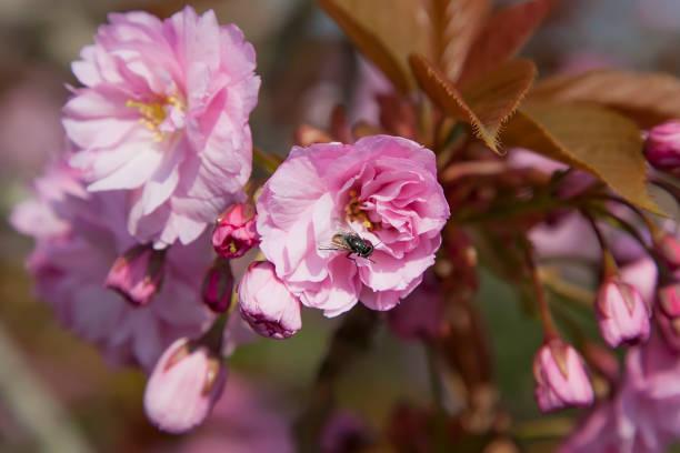 rosa Baumblüte im Frühjahr – Foto
