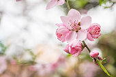 The first sign of early spring approaching, trees have burst into bright pink blooms