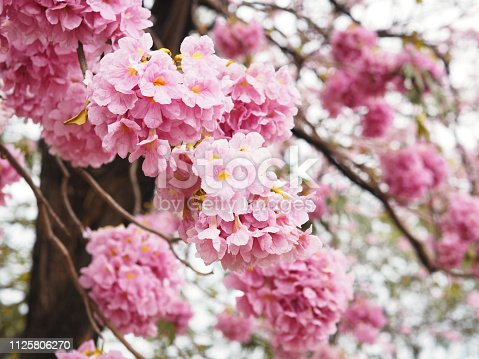 901386728 istock photo pink trumpet flowers tree 1125806270