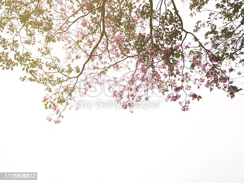 901386728 istock photo pink trumpet flowers tree 1125806812