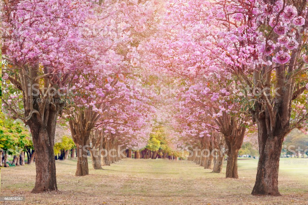 Pink trumpet tree or Rosy trumpet tree. stock photo