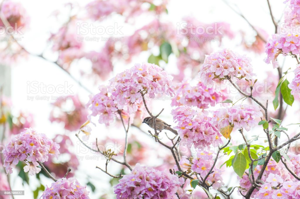 Pink Trumpet Tree Or Tabebuia Rosea Fresh Pink Flowers And Green