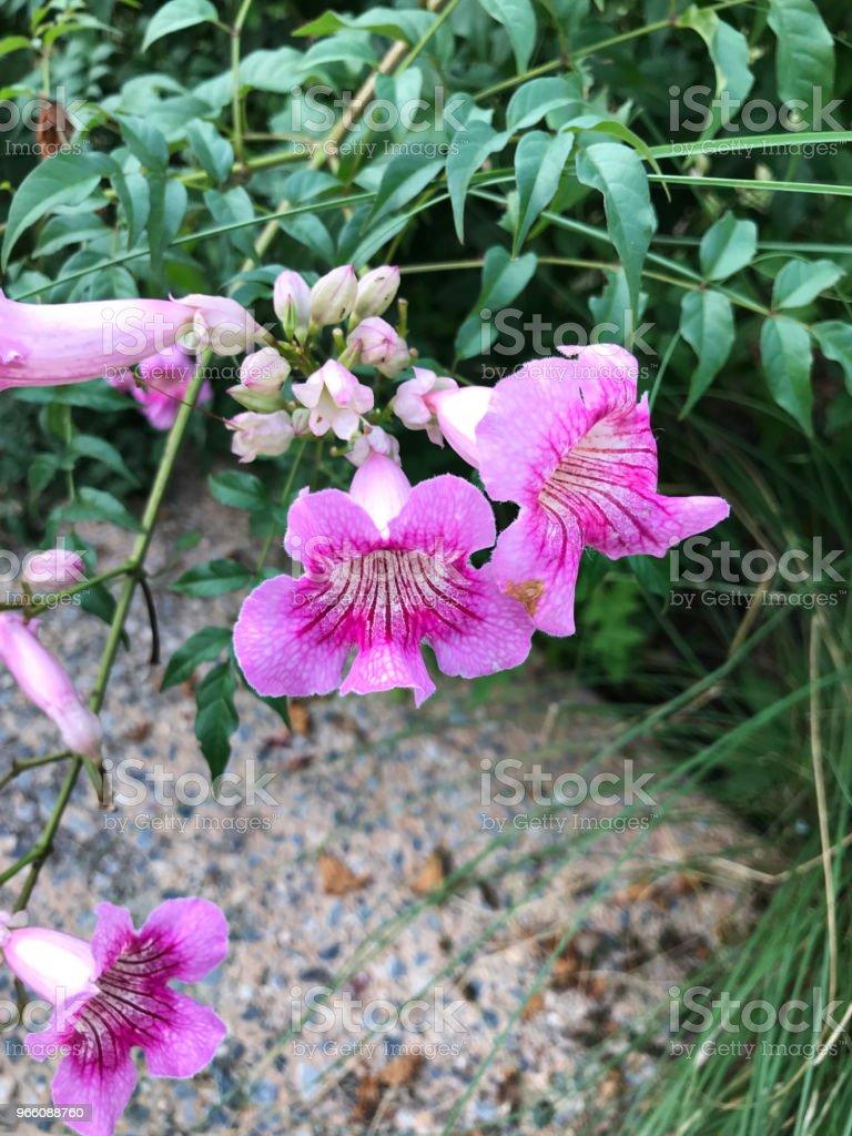 Pink Trumpet Vine Or Port Stjohns Creeper Or Podranea Ricasoliana Or
