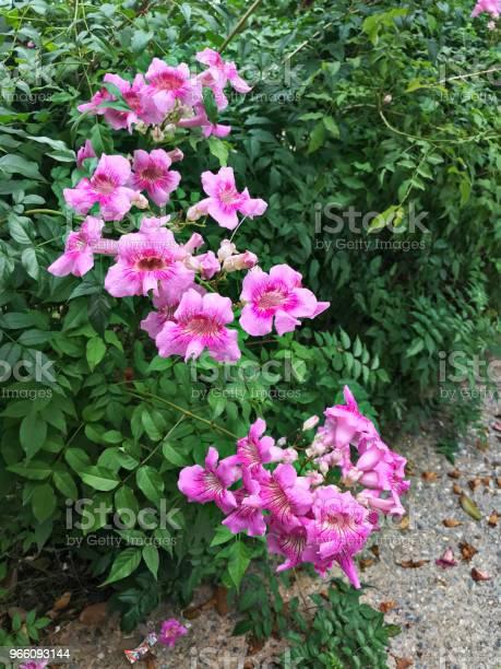 Pink Trumpet Vine Or Port Stjohns Creeper Or Podranea Ricasoliana Or Campsis Radicans Or Trumpet Creeper Or Cow Itch Vine Or Hummingbird Vine Flowers — стоковые фотографии и другие картинки Биоразнообразие
