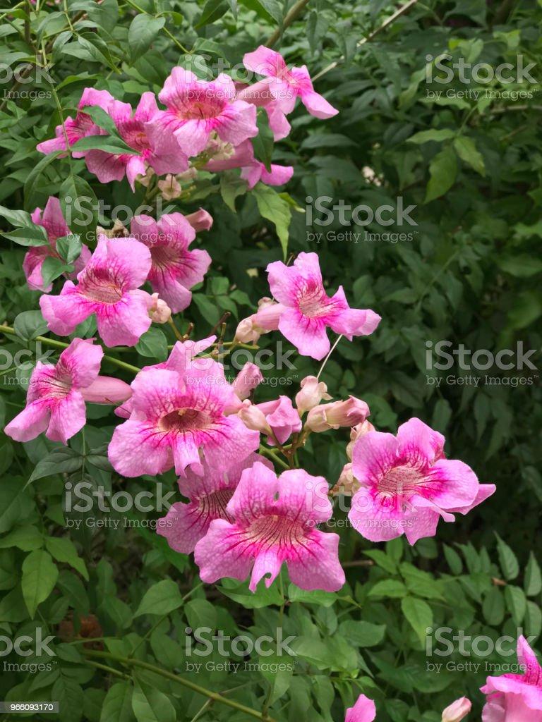 Pink Trumpet vine or Port St.John's Creeper or Podranea ricasoliana or Campsis radicans or Trumpet creeper or Cow itch vine or Hummingbird vine flowers. - Стоковые фото Биоразнообразие роялти-фри